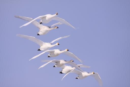 白鳥5.JPG